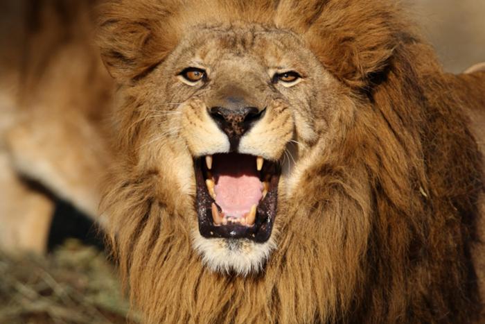 女性のタイプ別攻略法!動物占い「ライオン」編